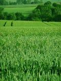зеленый цвет поля мозоли Стоковые Фото