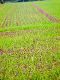 Зеленый цвет поля фермы засадил ландшафт предпосылки текстуры Стоковые Изображения RF