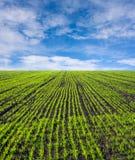 зеленый цвет поля фермы Стоковые Изображения RF