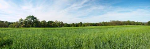 зеленый цвет поля ячменя панорамный стоковое изображение