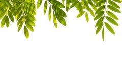 зеленый цвет предпосылки выходит белизна С путем клиппирования Стоковые Фотографии RF