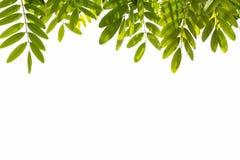 зеленый цвет предпосылки выходит белизна С путем клиппирования Стоковое фото RF