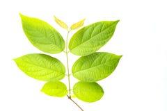 зеленый цвет предпосылки выходит белизна стоковая фотография
