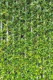 зеленый цвет предпосылки выходит стена Стоковое Фото