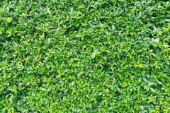 зеленый цвет предпосылки выходит стена Стоковая Фотография RF