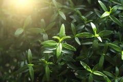 зеленый цвет предпосылки флористический Молодой зеленый цвет выходит, пускает ростии или снимает o Стоковое фото RF