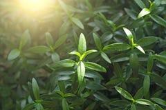 зеленый цвет предпосылки флористический Молодые листья, ростки или всходы зеленого цвета на дереве мирта Мирт дерева Предпосылка  стоковое фото