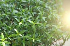 зеленый цвет предпосылки флористический Молодые листья, ростки или всходы зеленого цвета на дереве мирта Мирт дерева Предпосылка  стоковое изображение rf
