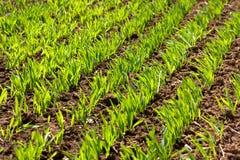 зеленый цвет пускает ростии зима пшеницы Стоковое Изображение RF