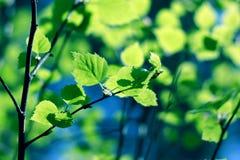 зеленый цвет пущи ветви Стоковое Изображение RF