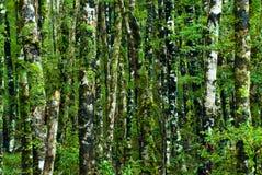 зеленый цвет пущи предпосылки стоковые фотографии rf