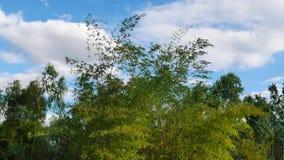 зеленый цвет пущи предпосылки bamboo сток-видео