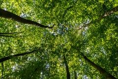 зеленый цвет пущи смотря вверх Стоковая Фотография
