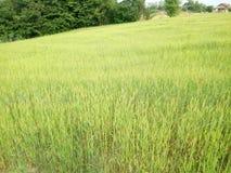 Зеленый цвет пшеничных полей Стоковое Изображение RF