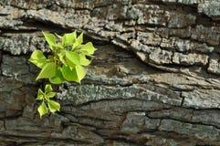 зеленый цвет расшивы выходит вал Стоковая Фотография