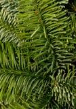 зеленый цвет рождества предпосылки Стоковое фото RF