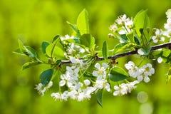 зеленый цвет сада цветков предпосылки яблока сверх Стоковое Изображение RF
