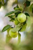 зеленый цвет сада яблок стоковые фото