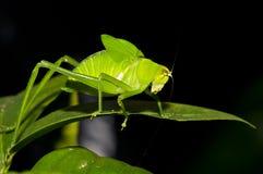 зеленый цвет сверчка Стоковая Фотография