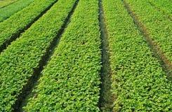 зеленый цвет сельдерея стоковая фотография rf