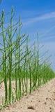 зеленый цвет спаржи Стоковые Изображения
