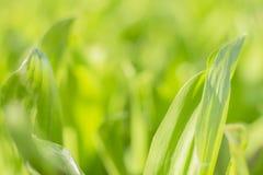 Зеленый цвет текстуры предпосылки выходит трава с запачканной предпосылкой стоковые изображения