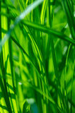 зеленый цвет травы детали Стоковое Изображение RF