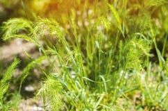 зеленый цвет травы дня солнечный Селективный фокус Текстура травы Предпосылка для конструкции естественные обои Концепция весны Стоковые Фотографии RF