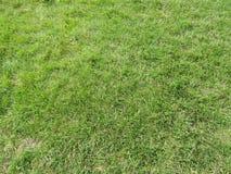 Зеленый цвет травы короткий Стоковые Фото
