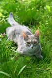 зеленый цвет травы кота Стоковые Фотографии RF