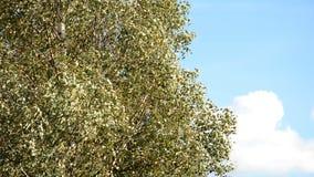 зеленый цвет травы осени даже выходит померанцовая тихая погода взгляда Листья желтой березы с голубым небом акции видеоматериалы