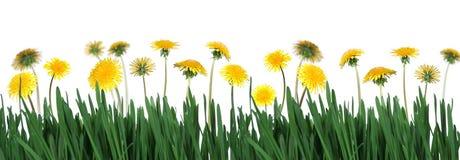 зеленый цвет травы одуванчиков Стоковое Изображение