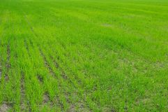 зеленый цвет травы поля Стоковое Фото