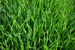 зеленый цвет травы предпосылки влажный Стоковое Изображение RF