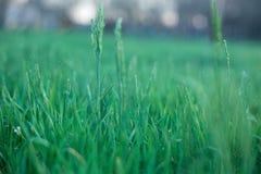 зеленый цвет травы сочный Предпосылка зеленой травы в после полудня Стоковые Фото