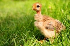 зеленый цвет травы цыпленка свободный немногая стоковая фотография
