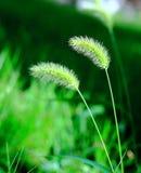 зеленый цвет травы щетинки Стоковые Фотографии RF