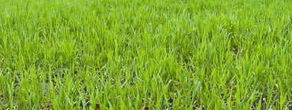 зеленый цвет травы Стоковое Изображение RF