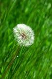 зеленый цвет травы blowballs Стоковое Изображение RF