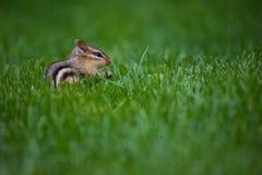 зеленый цвет травы chipmunk Стоковая Фотография RF