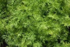 зеленый цвет укропа Стоковое фото RF