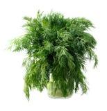 зеленый цвет укропа Стоковые Изображения