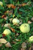 зеленый цвет упаденный яблоками Стоковые Изображения RF
