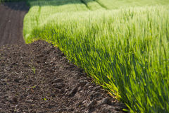 зеленый цвет урожаев Стоковая Фотография