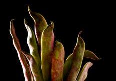зеленый цвет фасолей биологический Стоковая Фотография RF