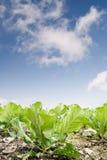 зеленый цвет фермы капусты стоковая фотография