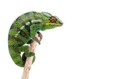 зеленый цвет хамелеона ветви Стоковая Фотография RF