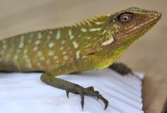 зеленый цвет хамелеона любит изверг стоковое фото rf