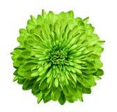 Зеленый цвет хризантемы Зацветите на изолированной белой предпосылке с путем клиппирования без теней Конец-вверх Для конструкции Стоковое Изображение