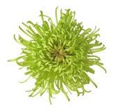 зеленый цвет хризантемы Стоковая Фотография